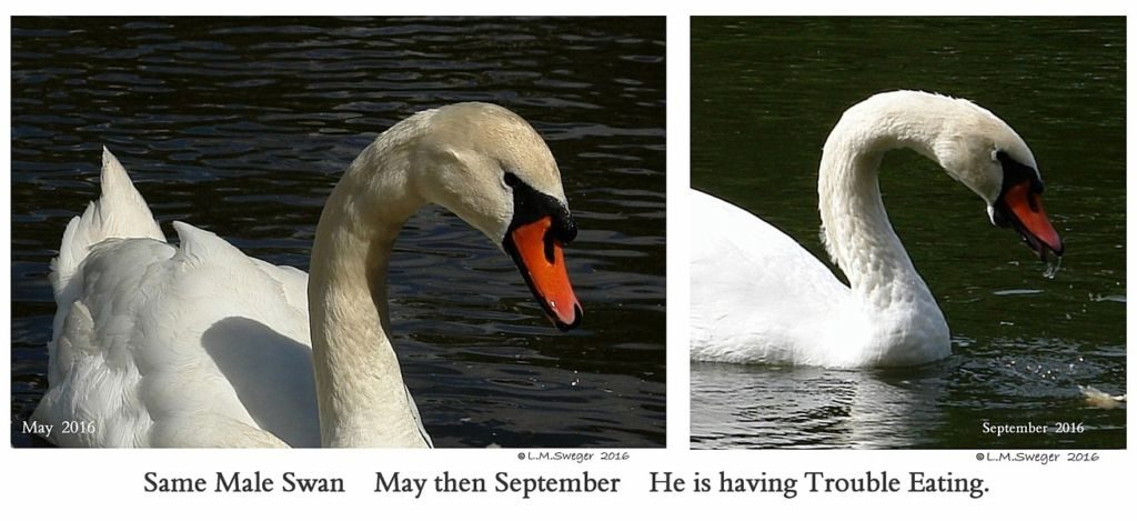 Swan Under Chin Impaction