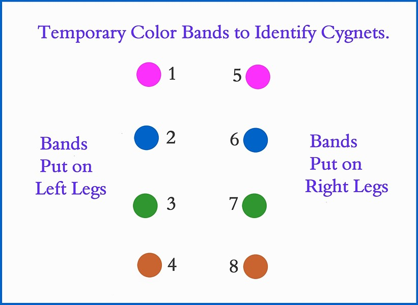 Colored Bands to ID Cygnets Swans DNA-Sex Testing