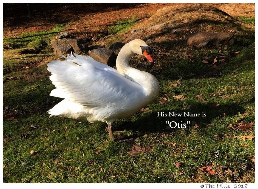 Mute Swan Cob Otis