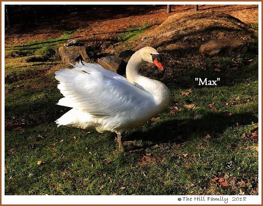 Male Mute Swan Max