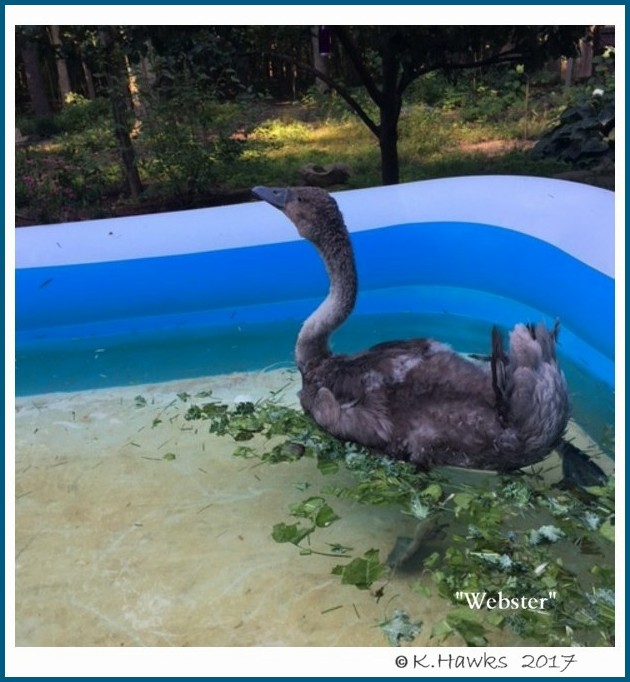 Mute Swan Cygnet Webster
