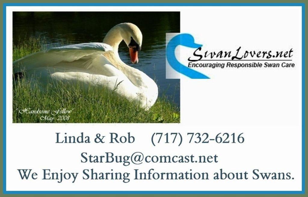 Swan Lovers