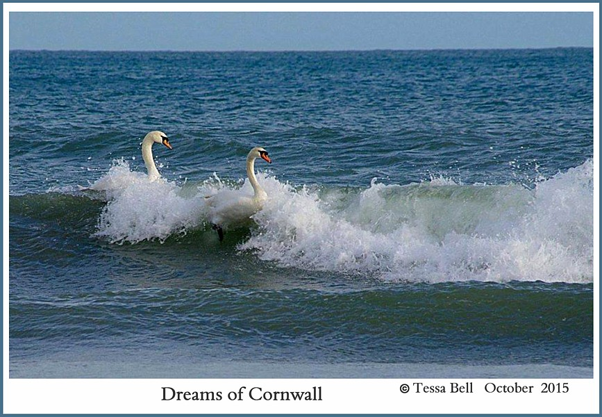 Swans Play in Ocean