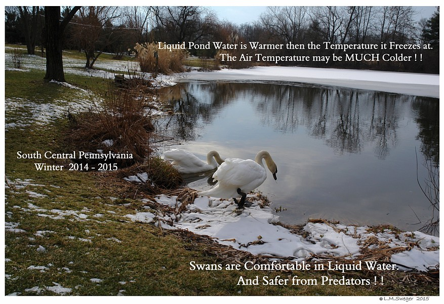 Winter Wake for Swans