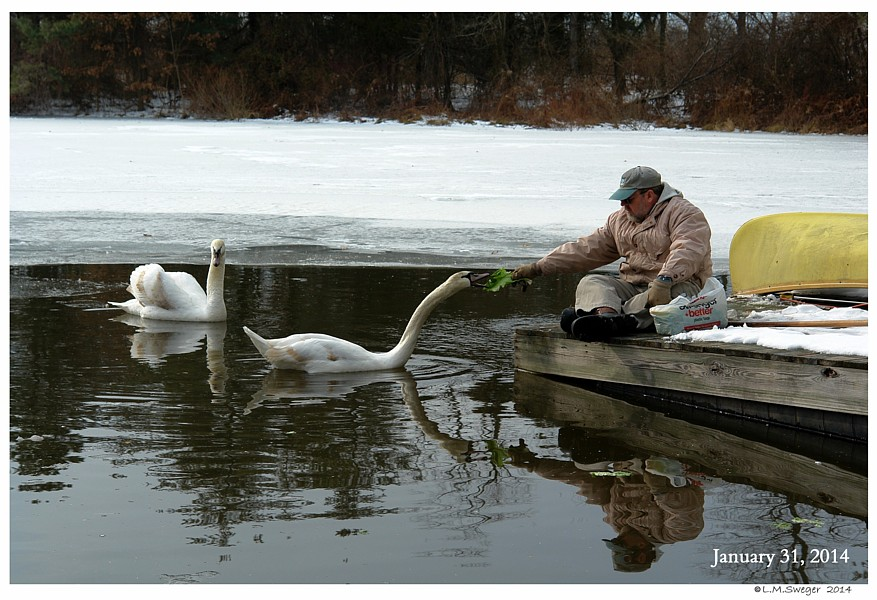 Hand Feeding Swans Swans are Vegetarians