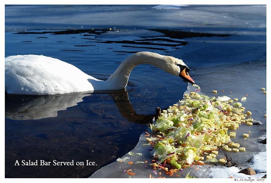 Swan Icy Salad Bar Swans are Vegetarians