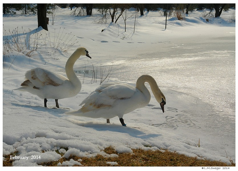 Keeping a Winter Wake for Swans