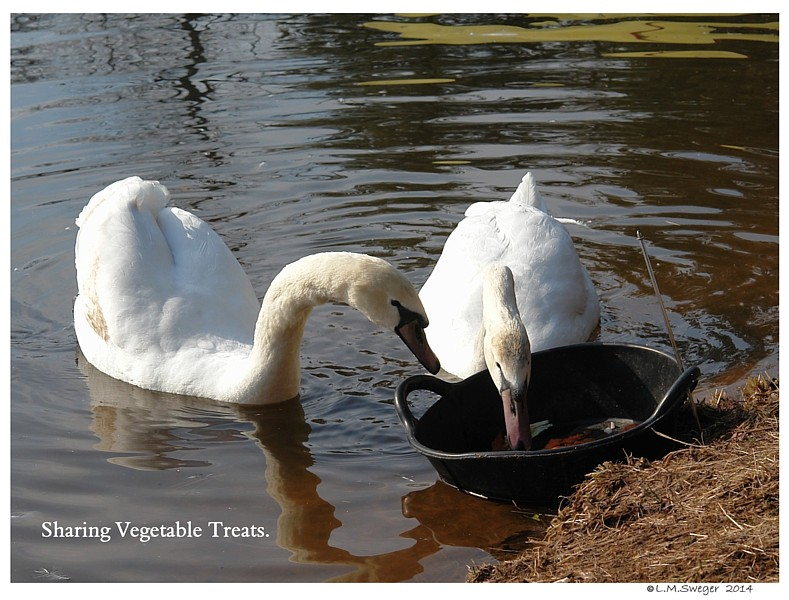 Swans are Vegetarians