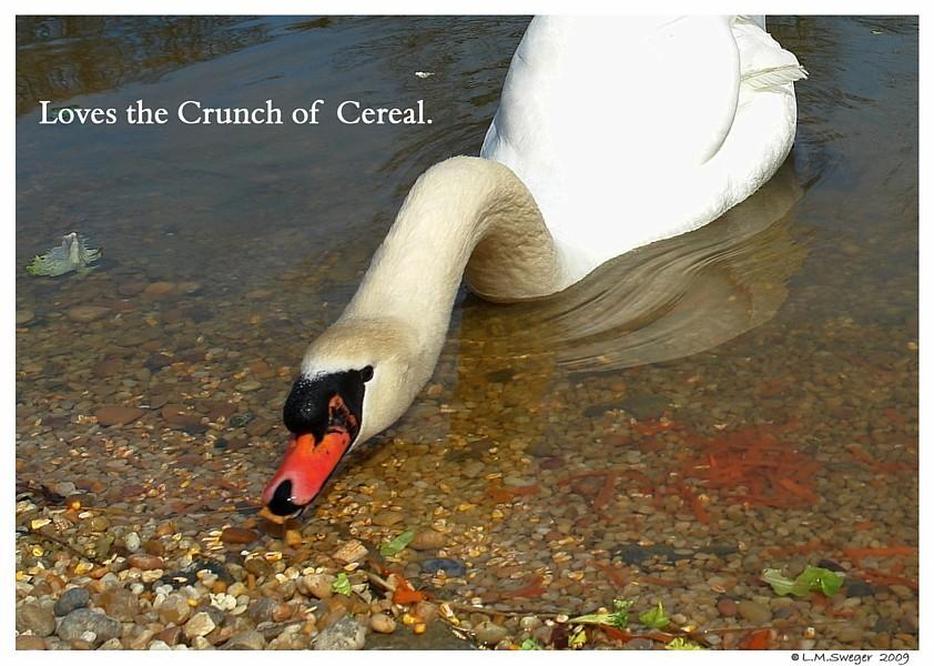Feeding Swans Swans are Vegetarians