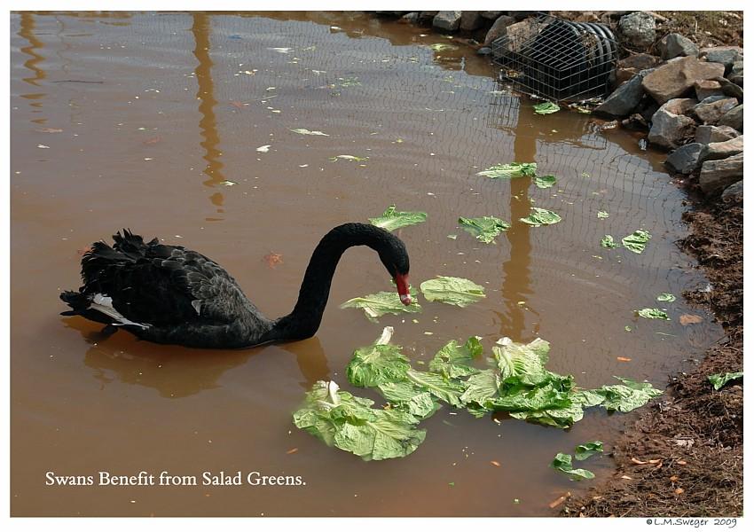 Swans Benefit