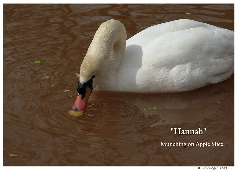 Swan Apple Swans are Vegetarians