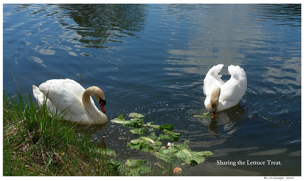 The White Bag Effect Mute Swans