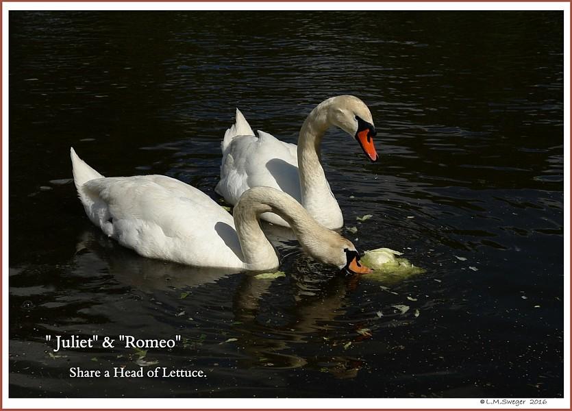 Swan Lettuce Play Swans are Vegetarians