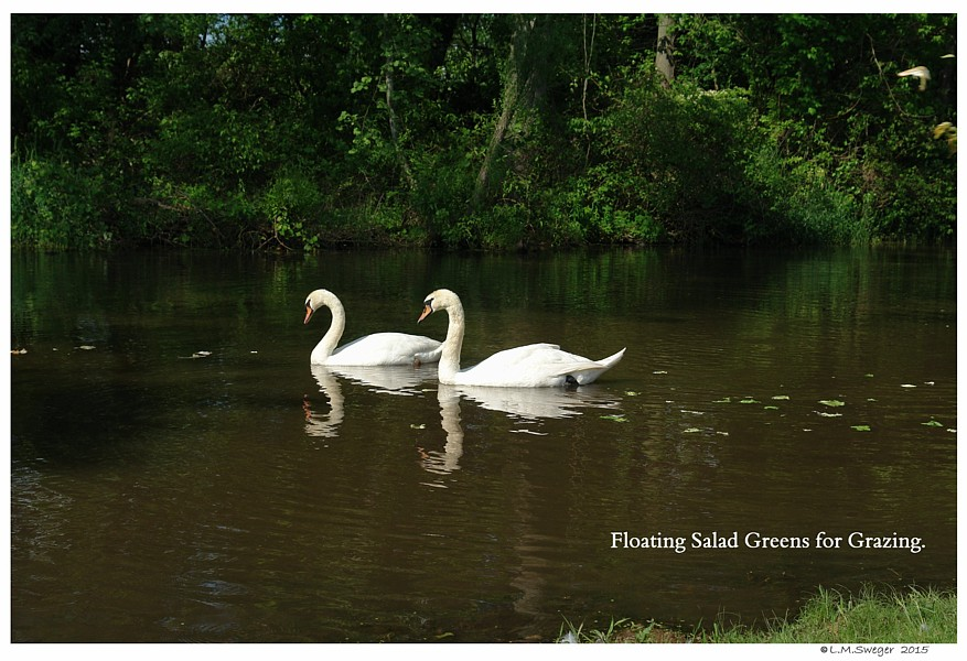 Floating Lettuce Swans are Vegetarians