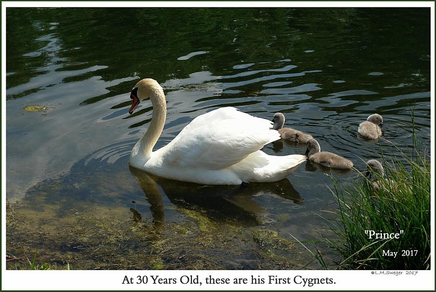 Male Mute Swan Swans are Vegetarians