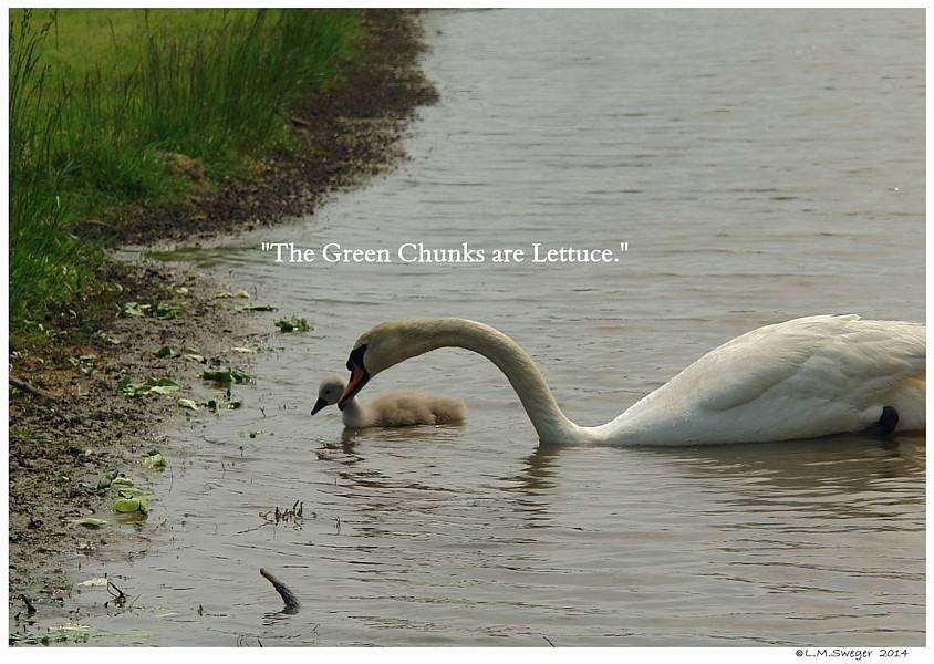 Swan Lettuce Swans are Vegetarians