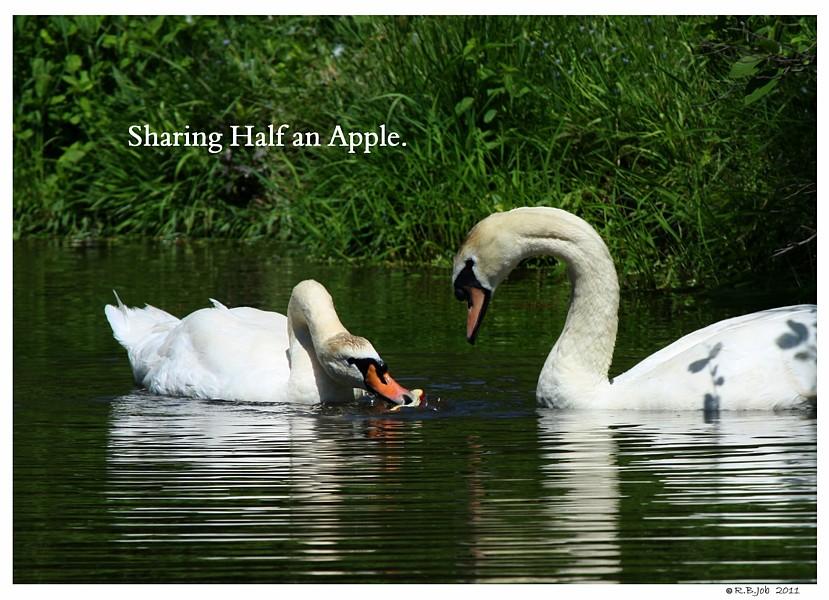 Swans Apples Swans are Vegetarians