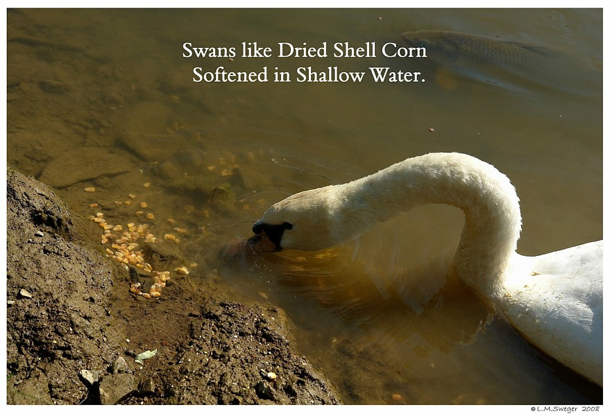 Soften Dried Corn Swans are Vegetarians