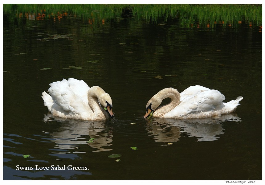 Salad Greens for Swans Swans are Vegetarians