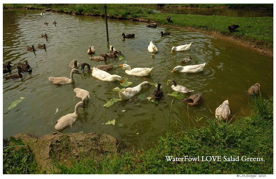 Waterfowl and Vegetables Swans are Vegetarians