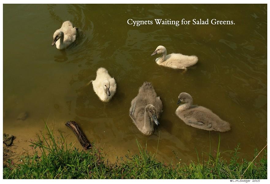 Feeding Cygnets Swans are Vegetarians