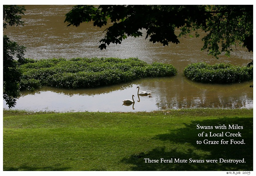 Feral Swan on Creek Swans are Vegetarians
