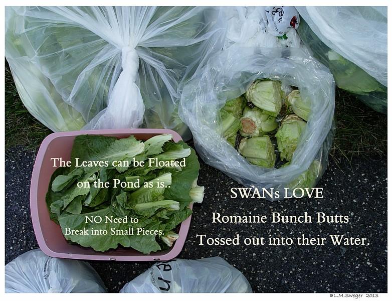 Swans Romaine Swans are Vegetarians