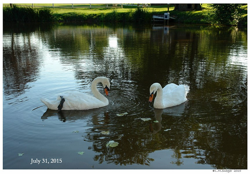 Captive Swans