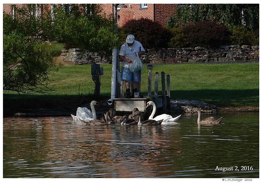 Mute Swans White Bag Effect