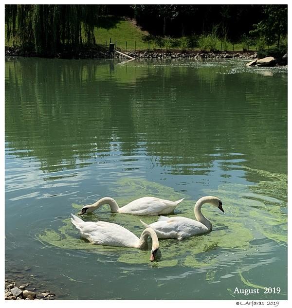 Feeding Swans Duckweed Swans are Vegetarians