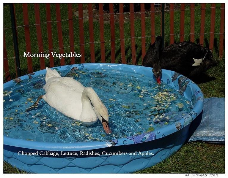 Vegetables for Swans Swans are Vegetarians