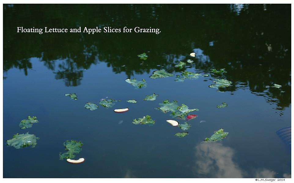 Floating Vegetables Swans are Vegetarians