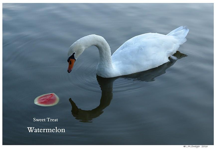 Mute Swan Watermelon