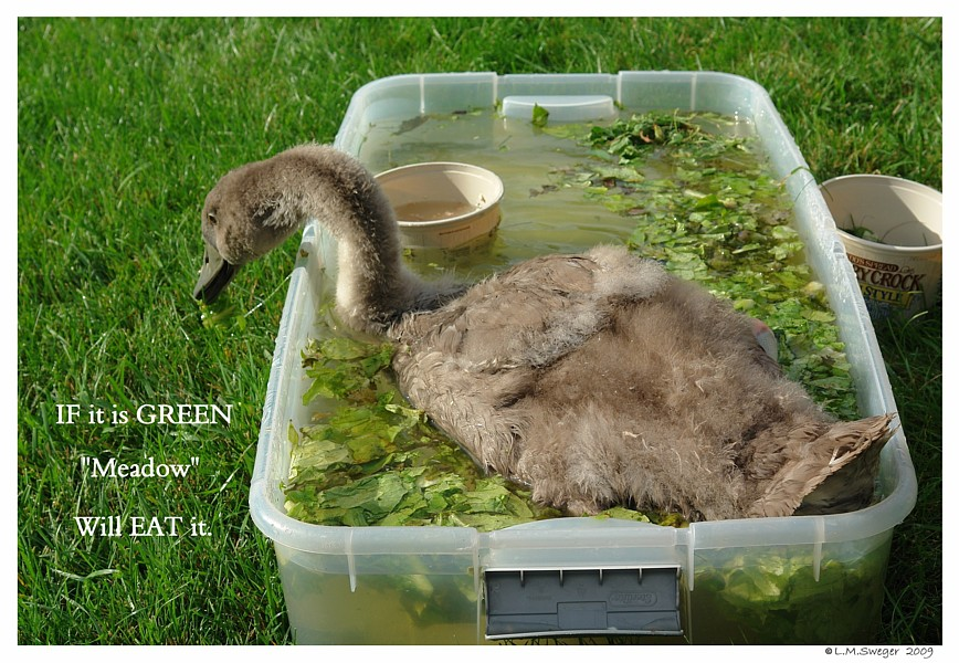 Cygnet Salad Greens