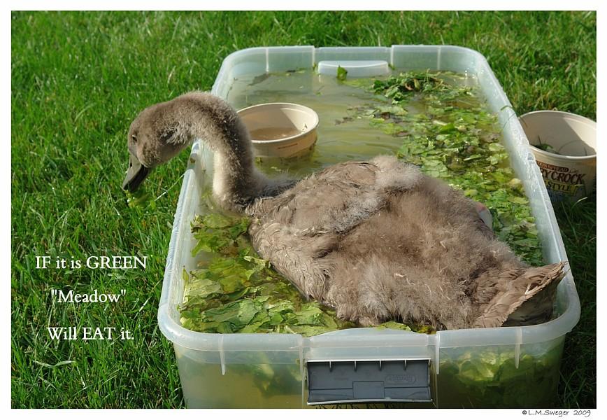 Cygnet Salad Greens Swans are Vegetarians