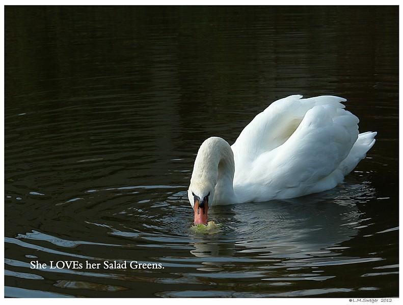 Swans Salad Greens Swans are Vegetarians