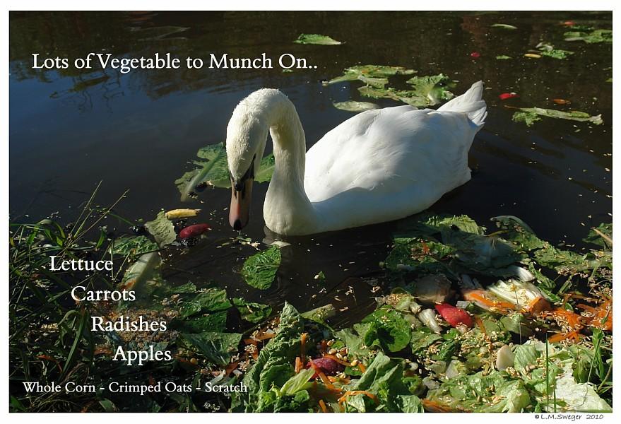 Swans Love Vegetables Swans are Vegetarians