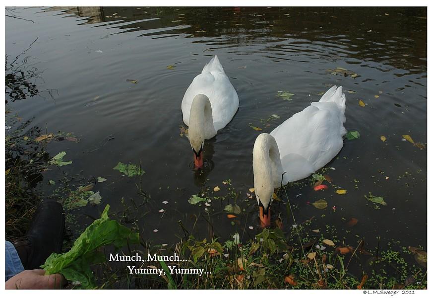 Swans Vegetables Swans are Vegetarians