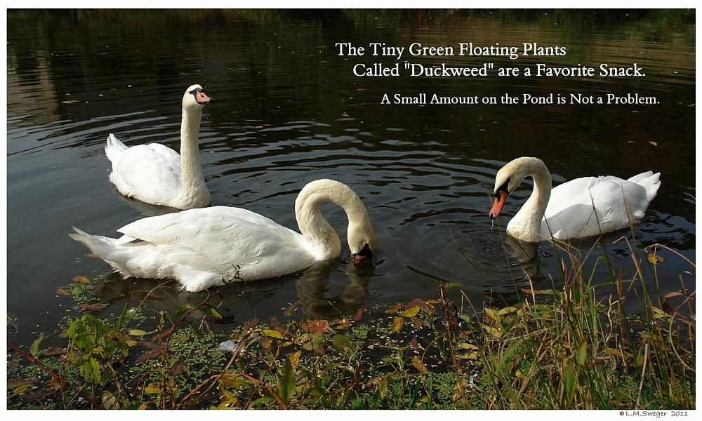 Swans Eat DuckWeed Swans are Vegetarians