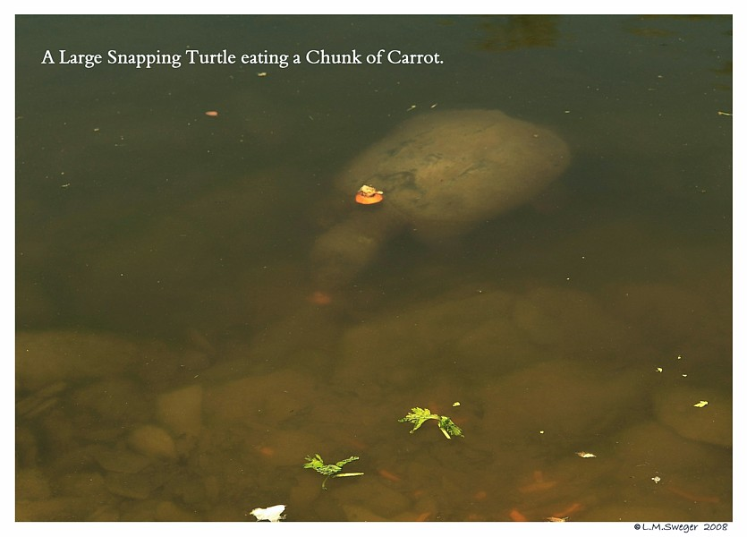 Snapping Turtle Vegetables Swans are Vegetarians