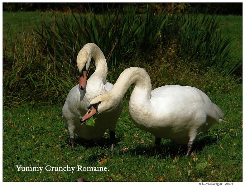 Swans Romaine Lettuce Swans are Vegetarians