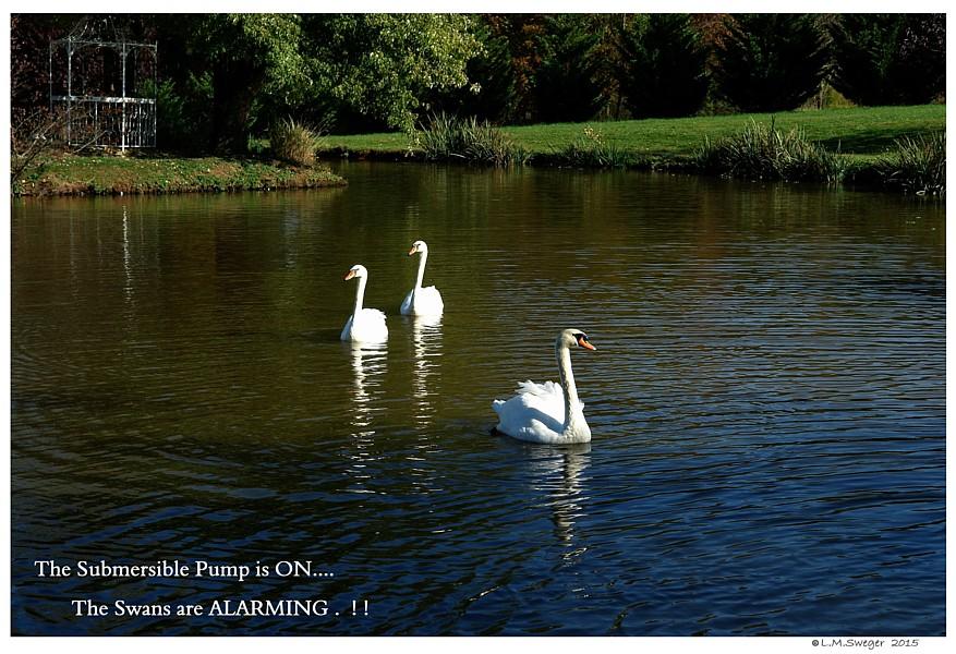 Swans Alarming