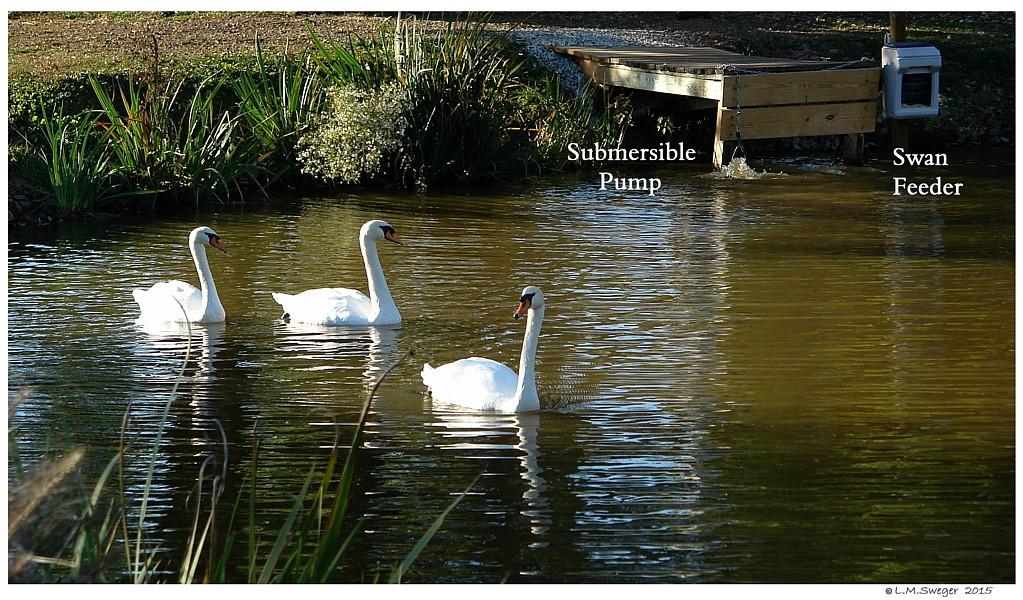 Swans Feeder