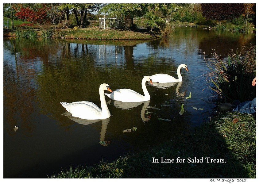 Swans Lettuce Swans are Vegetarians