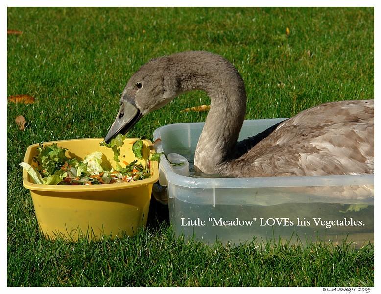 Cygnet Vegetables Swans are Vegetarians
