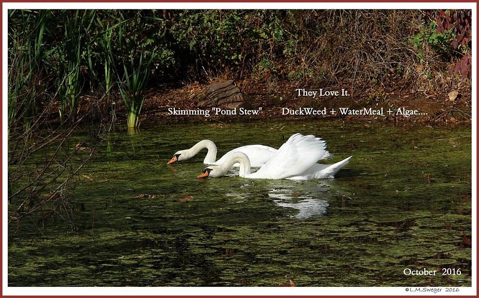 Swans are Vegetarians              Duckweed Algae