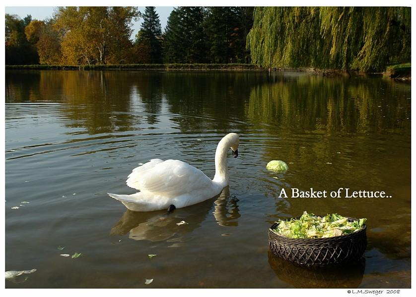 Swan Lettuce