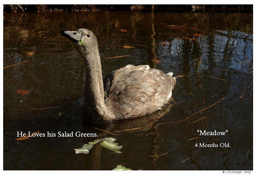 Cygnets Salad Greens Swans are Vegetarians