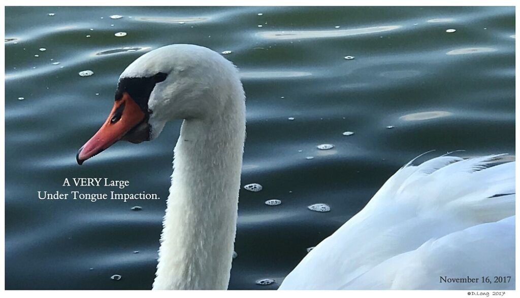 Swans are Vegetarians Under Chin Impaction