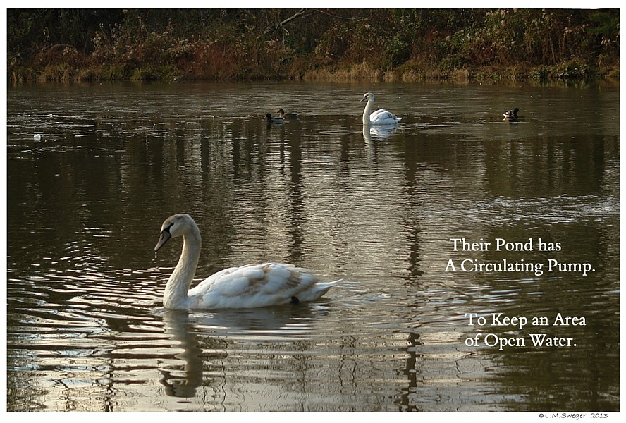 Cygnets Winter Pond